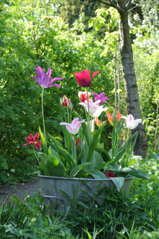 tulp-in-pot