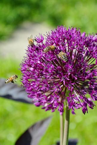 Allium-volkstuin