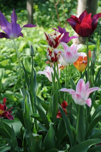 tulpen-gemengd