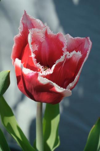 tulp-gefranjerd