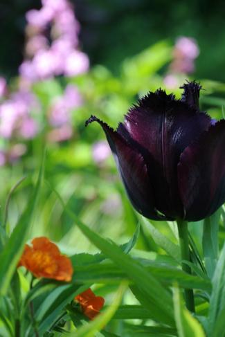 tulp-donker