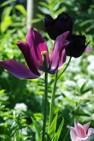 tulp-uitgebloeid