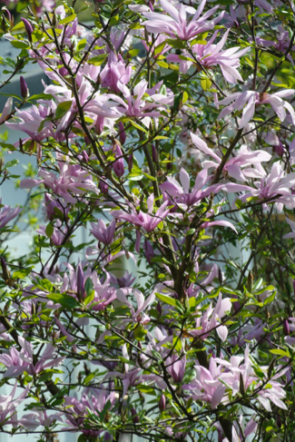 magnolia-volkstuin