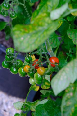 tomaten-kas-volkstuin