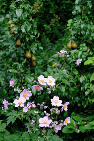 Japanse-anemonen-volkstuin