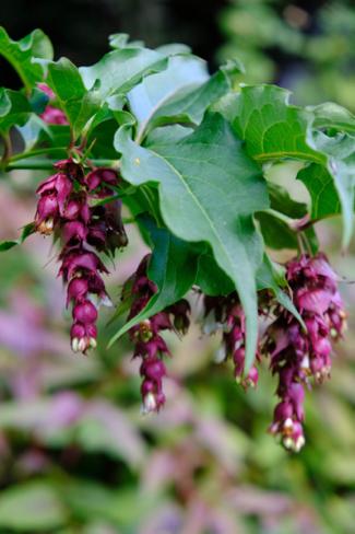 Grootmoedersoorbellen-plant